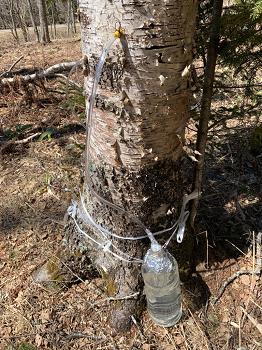 リサイズ 2019年白樺樹液の採取