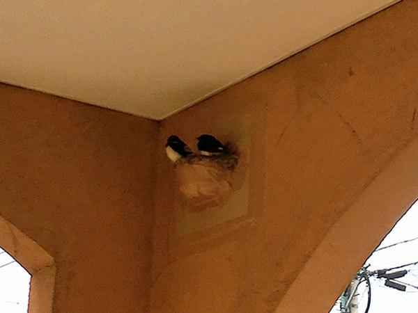動物病院の燕夫妻