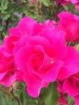 SPAZIOの薔薇№13