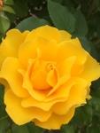 SPAZIOの薔薇№15