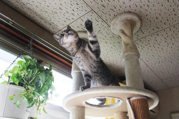 福ちゃん、普通の猫になりつつあります…ちょっと残念?