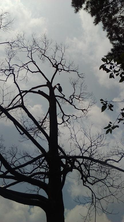 枯れ木にカワウ