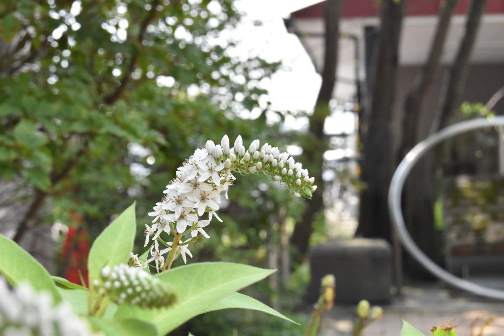 軽井沢駅前に植えられたトラノオ