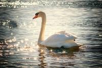 swan_port