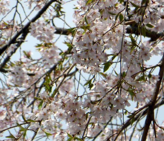 塩尻の桜9