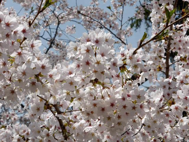 塩尻の桜0