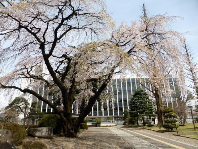 塩尻の桜7