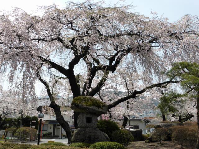 塩尻の桜8