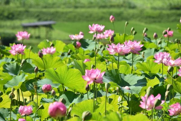 190731-蓮の花 (2)
