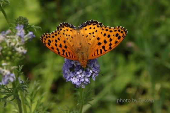 IMG_6744蝶々