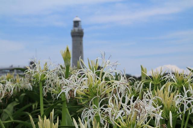 s-灯台とハマユウその1