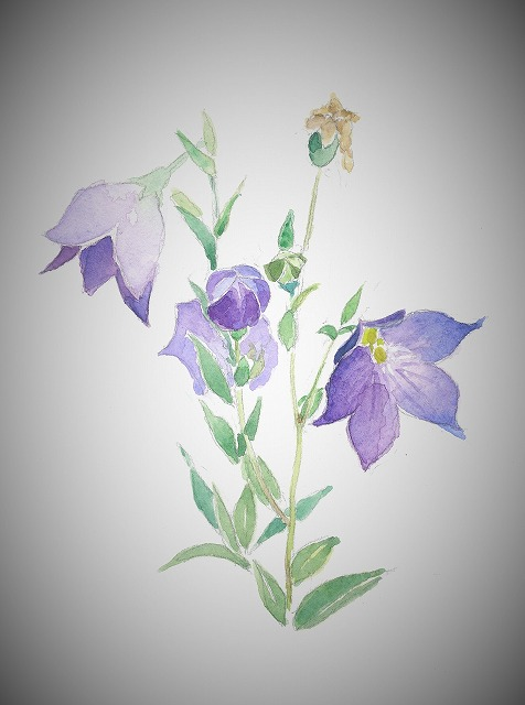 s-桔梗の花