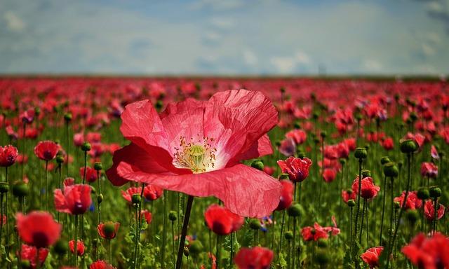 poppy-2447327_640.jpg