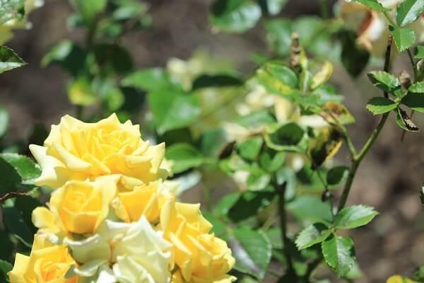 バラ 黄色2