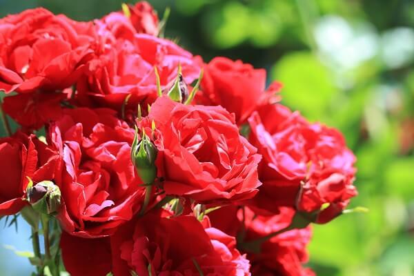 バラ 赤4