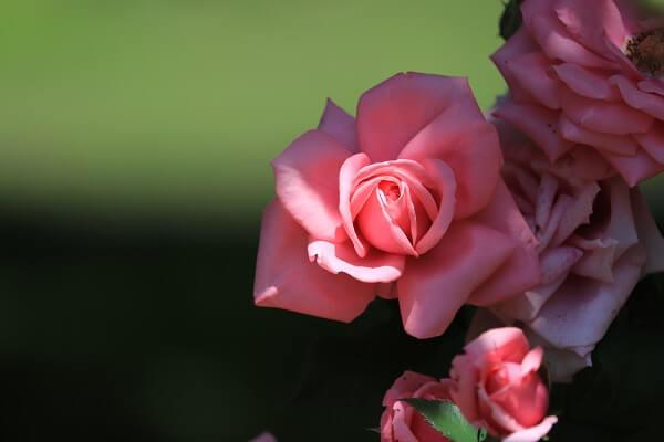 バラ ピンク2
