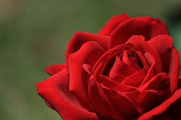 バラ 赤5