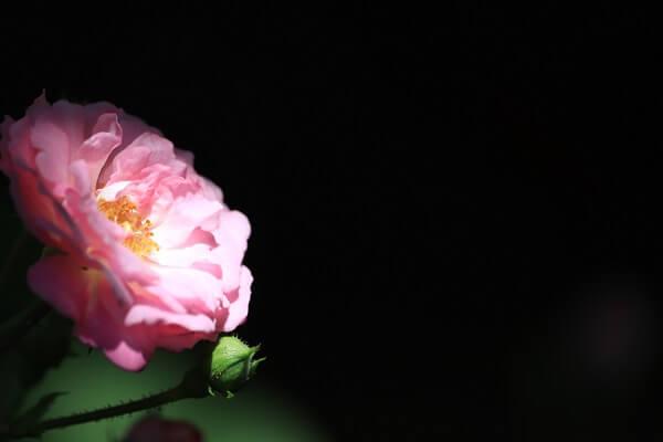 バラ ピンク3