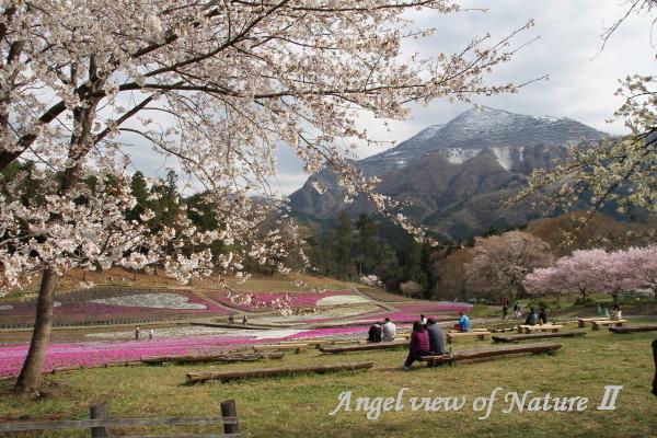 羊山公園の桜と芝桜と武甲山0431①