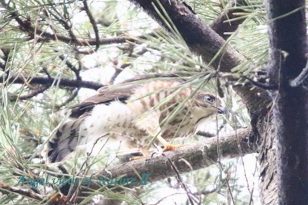 ツミ幼鳥1907014483①