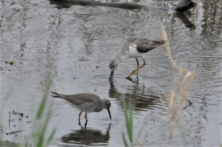 with-grey-tailed tattler