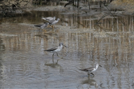 with-greenshank2