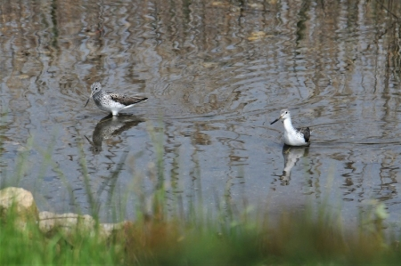 with-greenshank