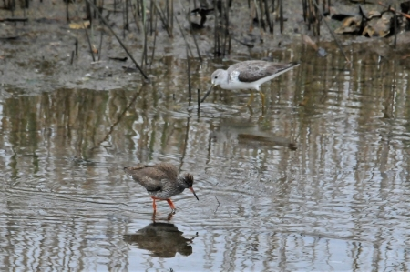 with-redshank