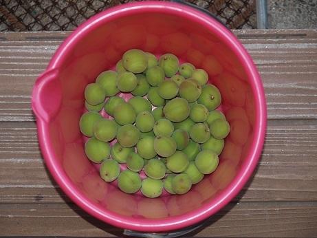 P5240046 梅収穫