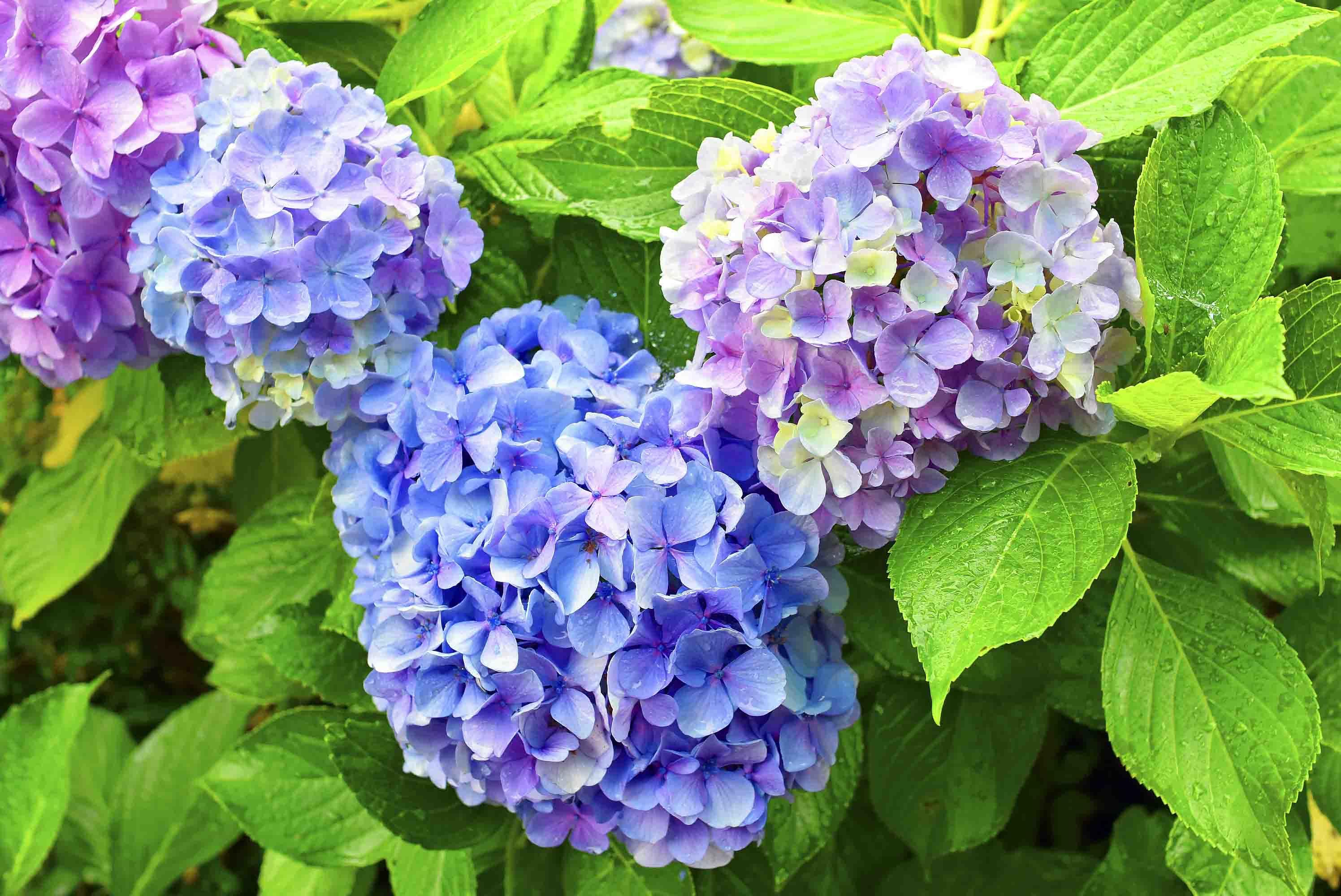 上の山城 紫陽花