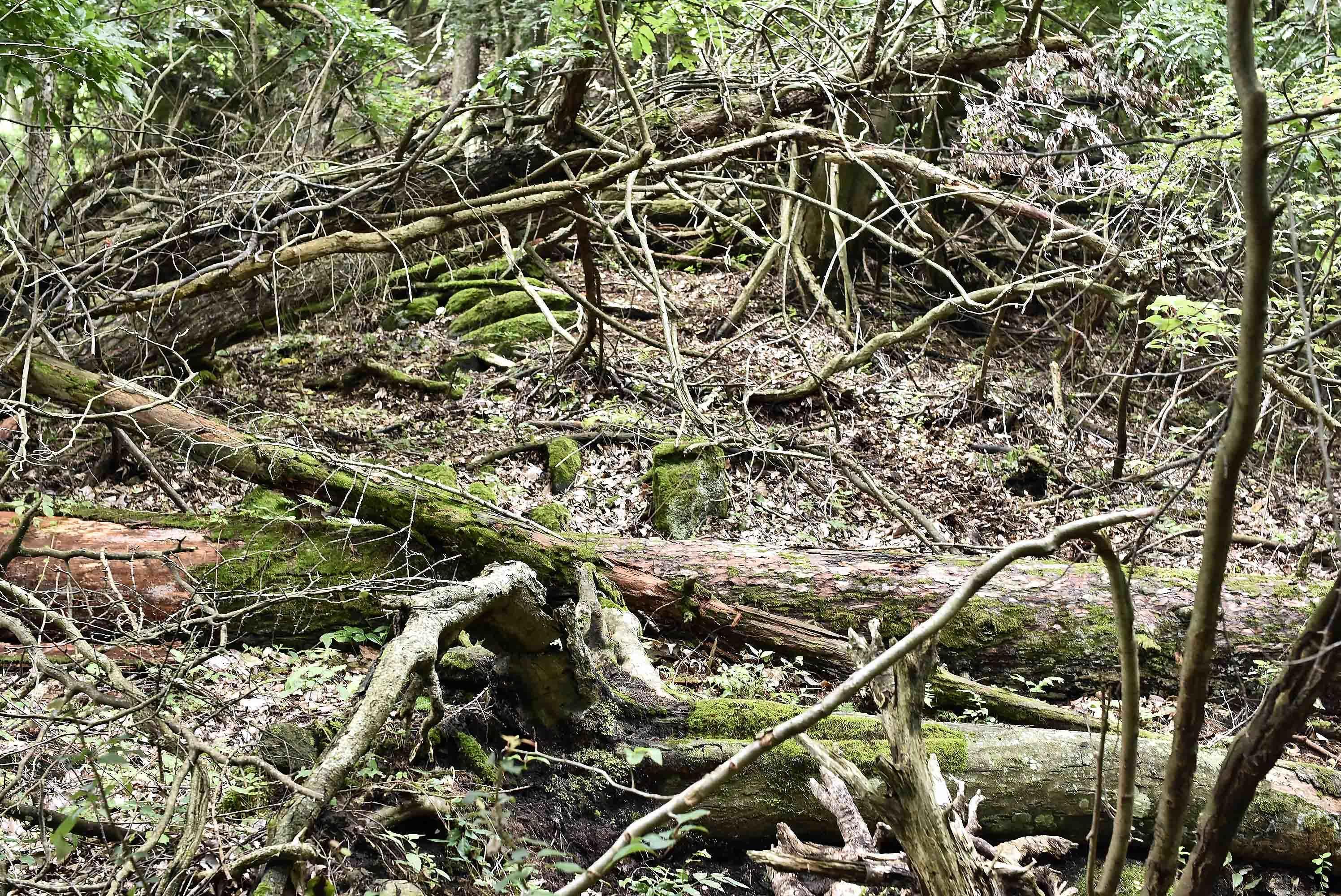 内山古城の倒木