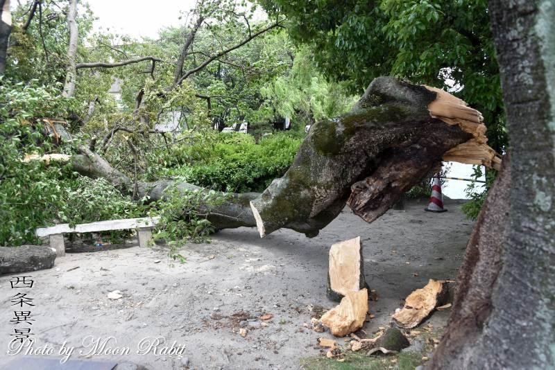 強風で折れた枝 三本松公園 愛媛県西条市三本松