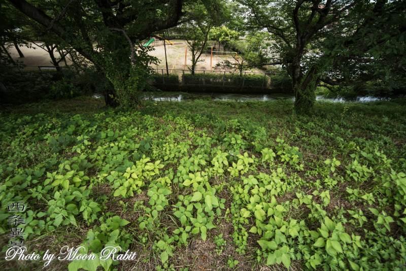 加茂川堤防 愛媛県西条市川沿町