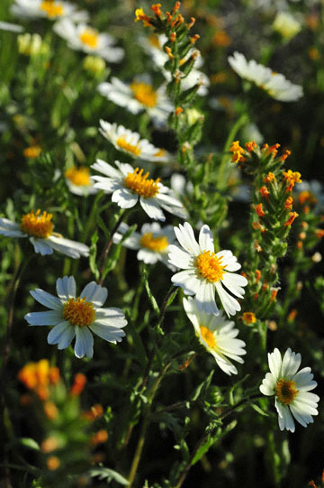 blog 3 Taft, Carrizo Plain, Whitedaisy Tidytips (Layia glandulosa) & Rancher's Fiddleneck (Amsinckia intermedia), CA_DSC7073-3.17.19.jpg