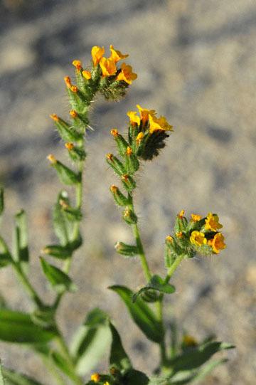 blog 3 Taft, Carrizo Plain, Rancher's Fiddleneck (Amsinckia intermedia), CA_DSC7076-3.17.19.jpg