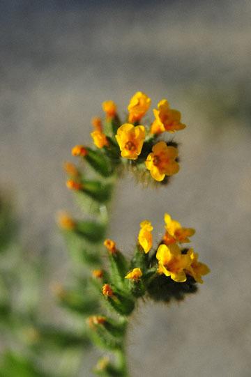 blog 3 Taft, Carrizo Plain, Rancher's Fiddleneck (Amsinckia intermedia), CA_DSC7074-3.17.19.jpg
