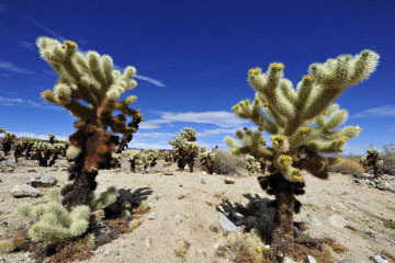 blog 5 Twentynine Palms, Joshua Tree NP, Cholla Gardens_DSC7621-3.20.18.(2).jpg