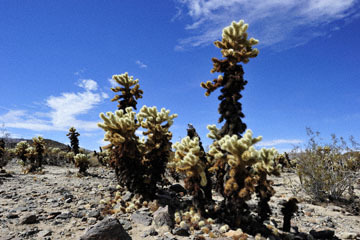 blog 5 Twentynine Palms, Joshua Tree NP, Cholla Gardens_DSC7660-3.20.18.(2).jpg