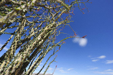 blog 5 Twentynine Palms, Joshua Tree NP, Ocotillo (Fouquieria splendens)_DSC7684-3.20.18.(2).jpg