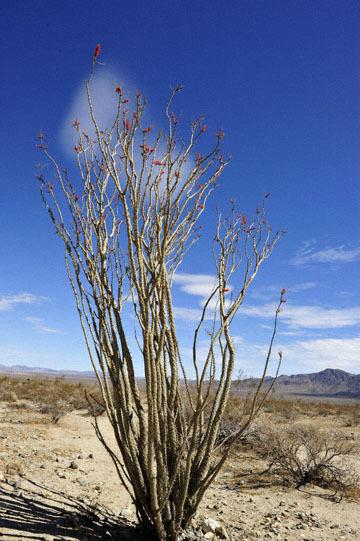 blog 5 Twentynine Palms, Joshua Tree NP, Ocotillo (Fouquieria splendens)_DSC7677-3.20.18.(2).jpg