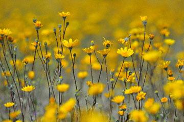 blog (6x4@300) Yoko 9 Anza Borrego, Desert Sunflower, CA_DSC7679-3.25.19.jpg