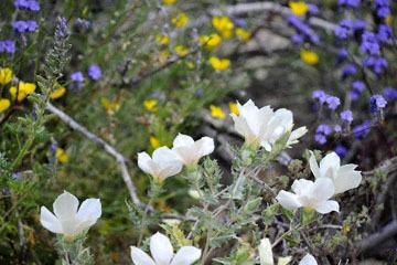 blog (6x4@300) 10 Joshua Tree NP, Cottonwood side Entrance, Nature's Garden, CA_DSC7724-3.26.19.jpg
