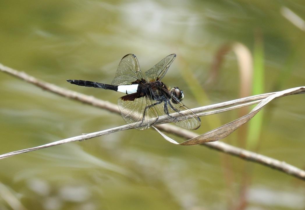 腰秋蜻蛉①