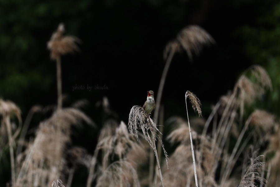 オオヨシキリ