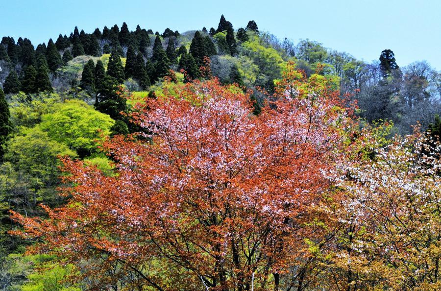 山桜(美山)1