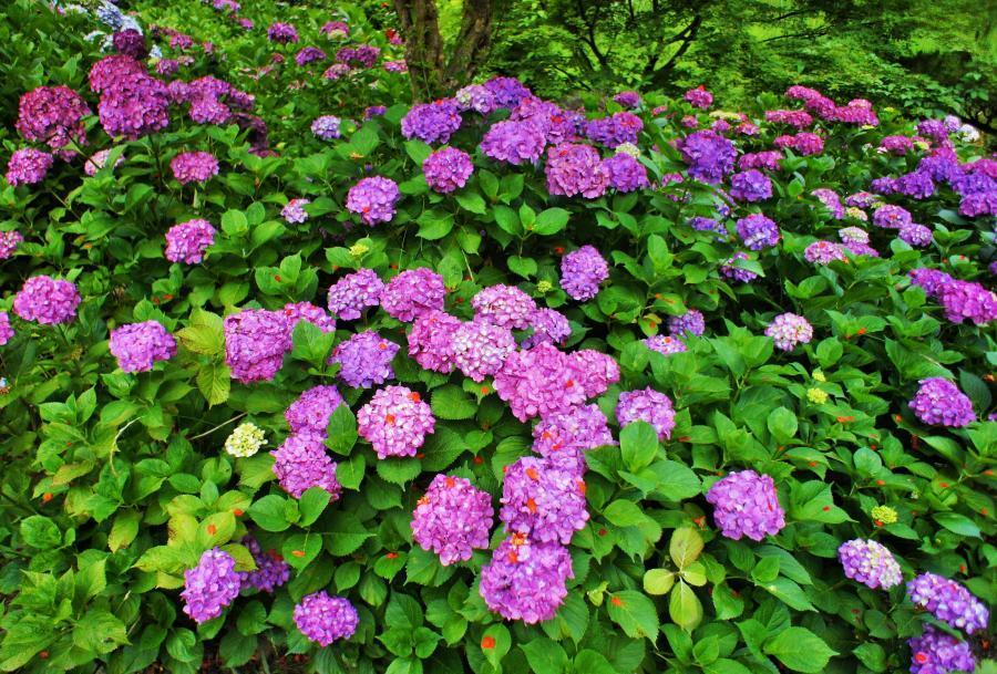 紫陽花(山田池)1