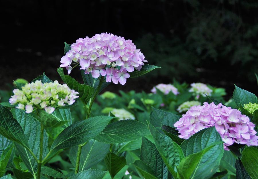 紫陽花(山田池)2
